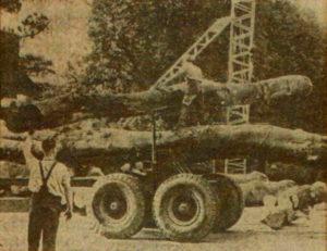 Unloading Trees 1981 R. Walmsly on tree